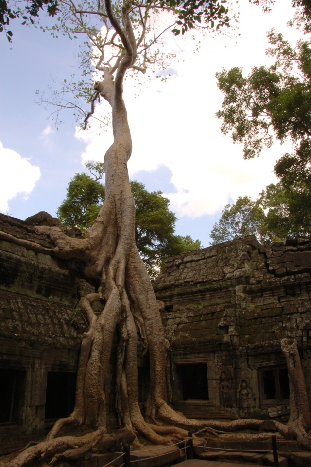 Tree growing out of the Wat Prohm Temple